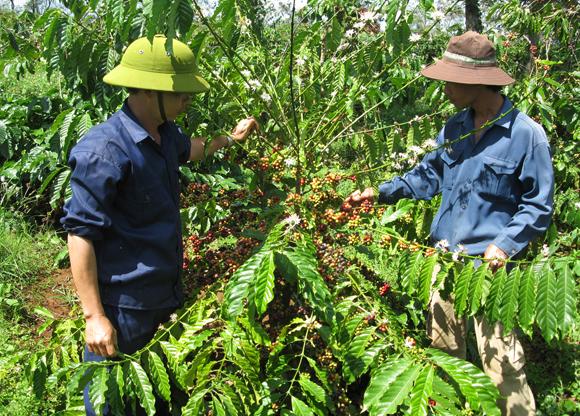 Thu hoạch cà phê tại công ty Ea Pôk