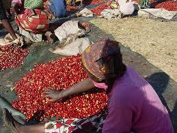 Nông dân vùng Đông Phi phân loại cà phê trước khi đưa vào chế biến