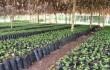 Tanzania: TaCRI cung cấp 200 triệu cây giống cà phê lai cho nông dân